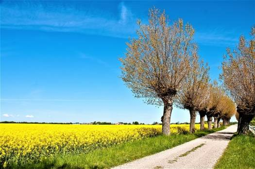 canola-field-blooming-along-a-country-road