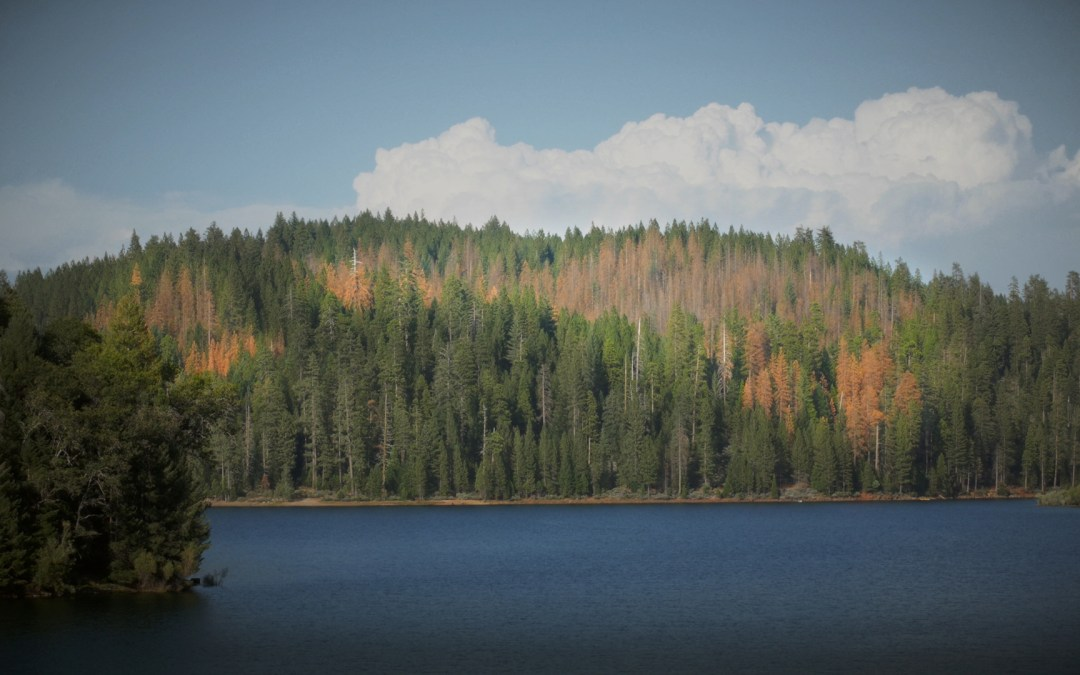 With California Drought Over, Fewer Sierra Pines Dying