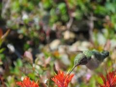 Chris Ruttan - Hummingbird