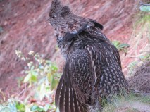 Christine Fordham - Ruffed Grouse drumming
