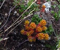 Peggy Taylor: alpine succulent