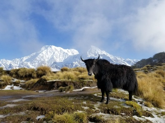 Winner - Nature Category: Jes Scott - Yak Spotted in Nepal