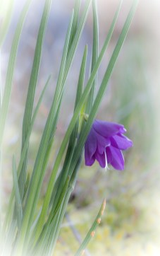 MarySanseverino: Satinflower in the Sooke Hills, 1st Place, Nature