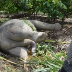 Gajah Ami