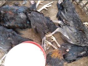 Warga Samatiga Aceh Barat panik karena ratusan ayam piaraan mati mendadak
