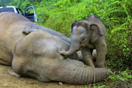 Gajah Olo di CRU Sampoinit Aceh Jaya mati mendadak