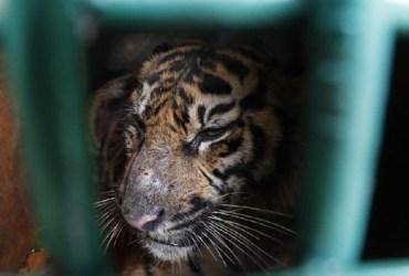 Harimau Kena Jerat