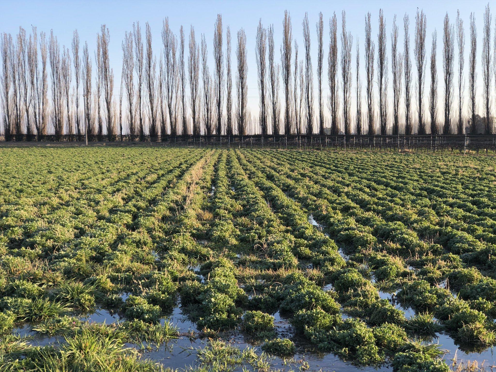 Chakana alfalfa