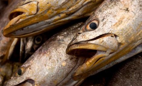 Corvina. Pescadores retiram peixes da rede montada em um banco de areia a cerca de 3 km no litoral do Pará, na foz do rio Amazonas. Os pescadores chegam a capturar cerca de 200 quilos de pescado por dia entre: piramutabas, sardinhas, filhotes, pescada amarela, robalo e tainhas. Curuçá·, Pará, Brasil. Foto: Paulo Santos