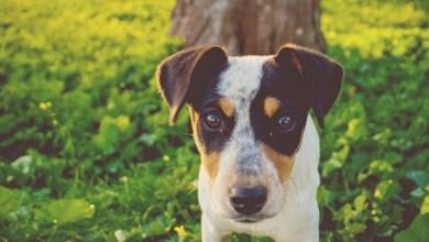 Photo of Vira-lata é o cão preferido dos brasileiros, conclui pesquisa
