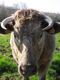 Cow_by_felix63