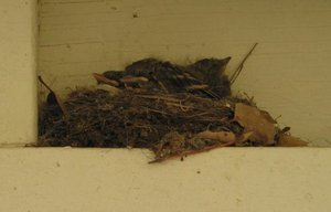 Baby_birds_on_the_porch