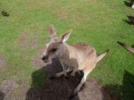 Kangaroo...Again