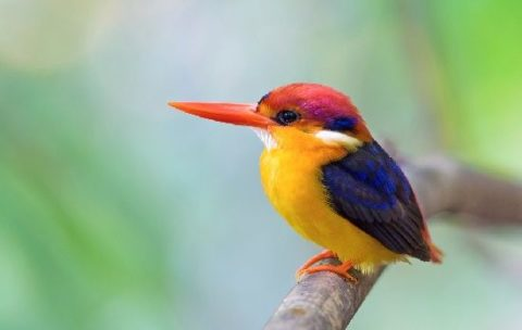 Black Backed Kingfisher