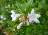 abelia bush