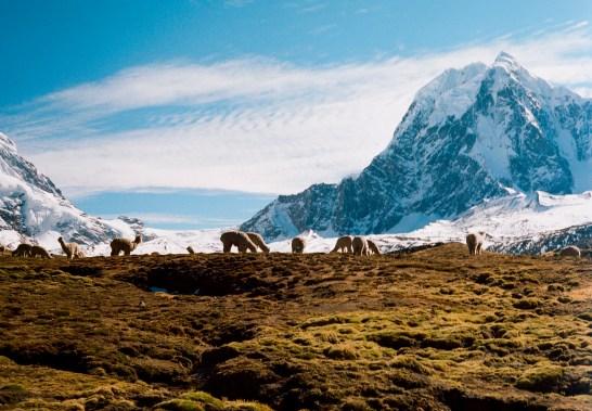 The enduring Alpacas.