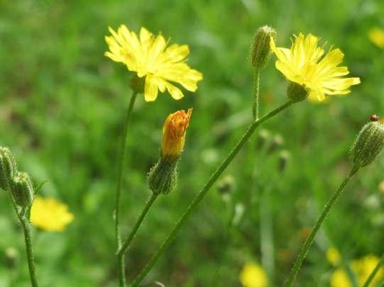 hypochaeris-radicata-catsear-flower