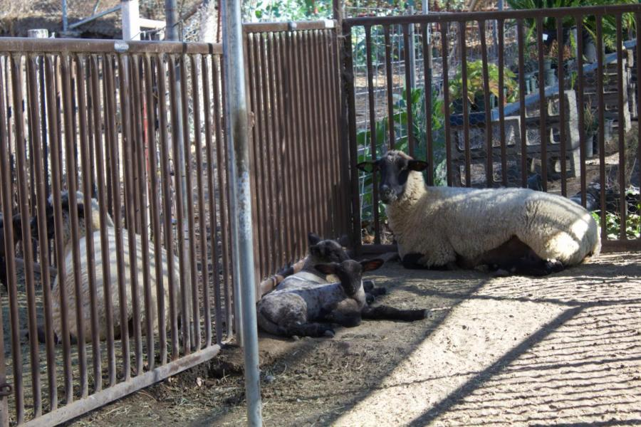 One+of+Cam+High%27s+newborn+lambs+resting+in+the+shade+near+its+mother.
