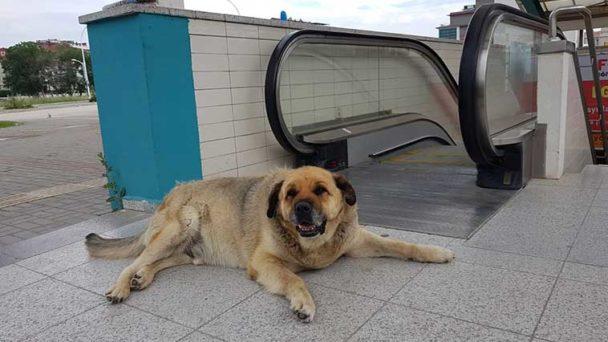 Bu köpeği sevmeyen metroya binemiyor