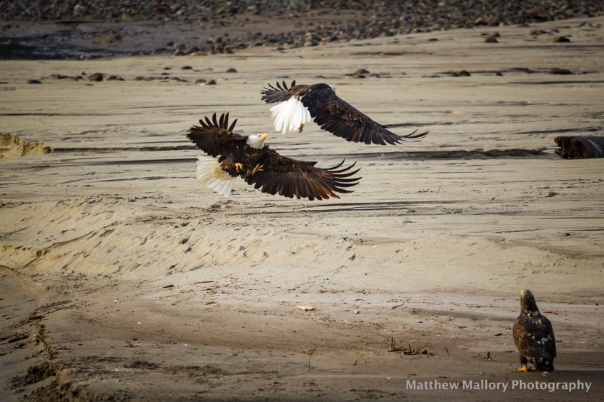 Brackendale Eagle Run - Squamish, British columbia