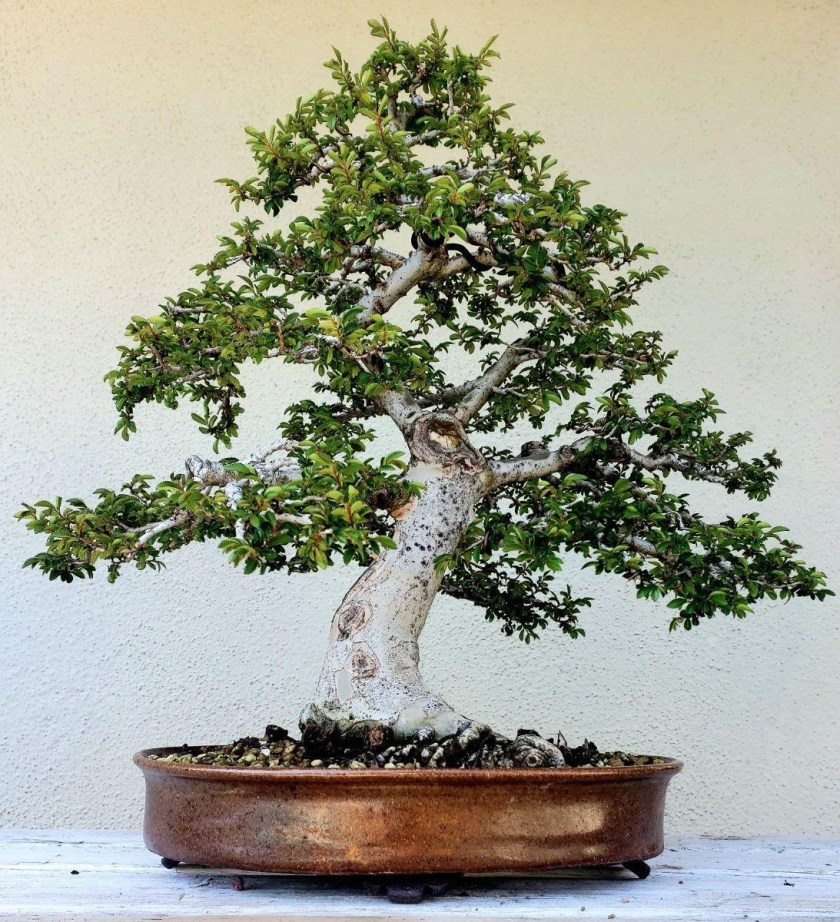 Additional Tips for chinese elm bonsai Chinese Elm Bonsai Care