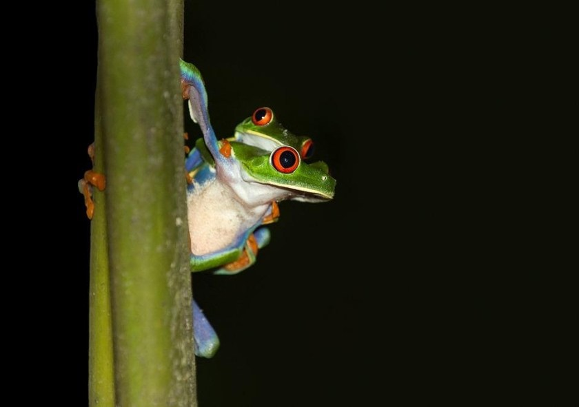 red eyed tree frog care