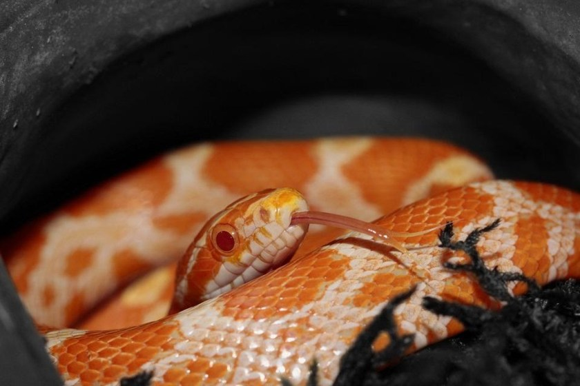 What to Do When corn snake Bite?