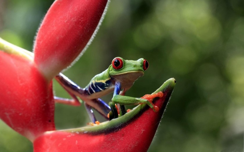 red eye frog care and suplement