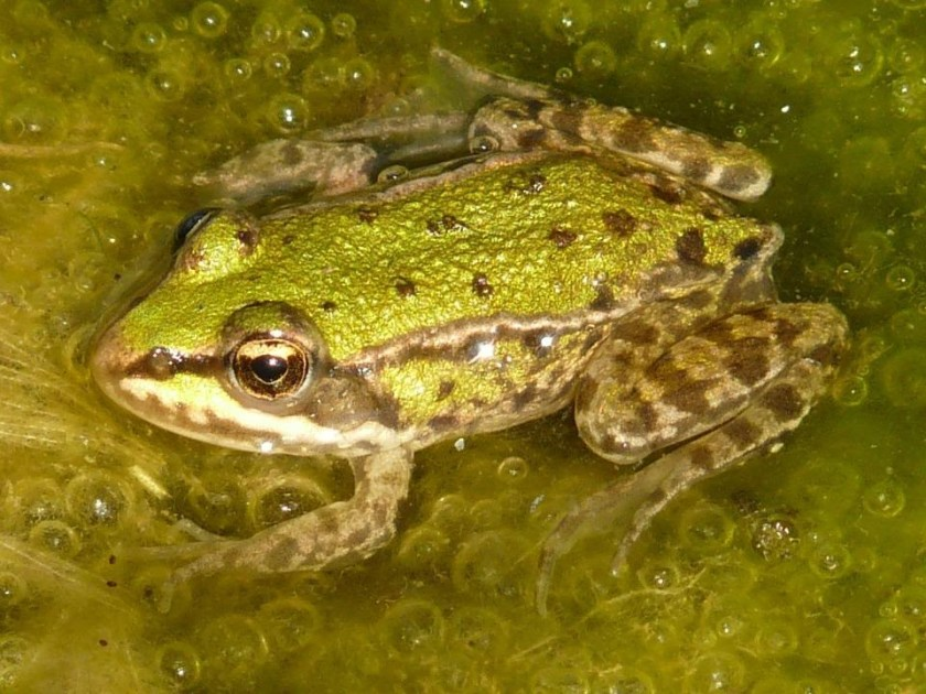 water for tree green frog care green habitat reproduction
