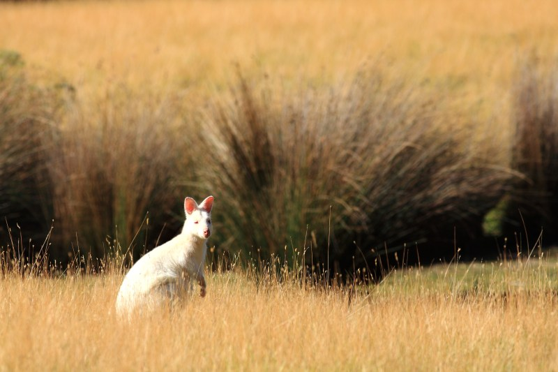 Rare albino Wallabies roam Bruny Island, from 'David Attenborough's Tasmania' - PHOTO Matt Hamilton, Terra Mater