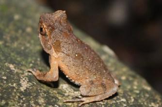 Short-legged_Toad_(Xenophrys_brachykolos)_短腳角蟾4