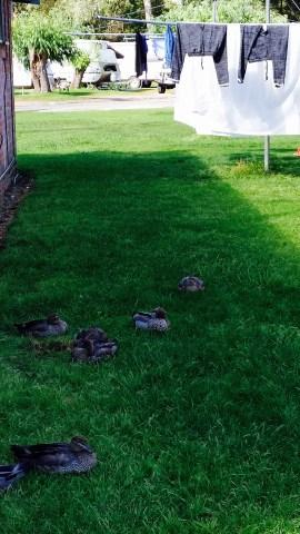 Duckie Duckie Neighbours