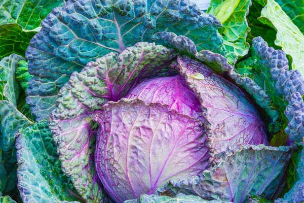 cabbage for papules