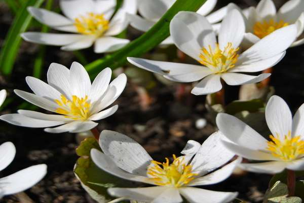 Bloodroot for acne cyst