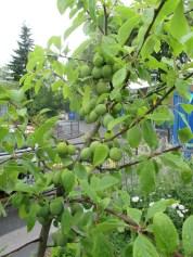 plums ripening