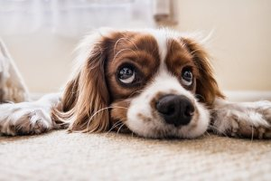 Sad looking Spaniel on the floor