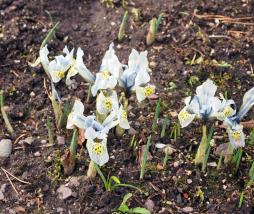 acanthus-dioscoridis-var-perringii