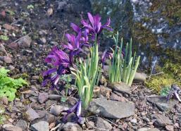 iris-histriodes-%22george%22