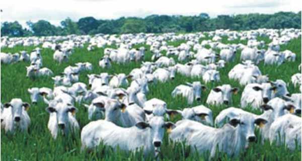 Foto ilustrativa de gado em pastagem