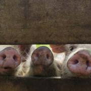 Foto ilustrativa de porcos