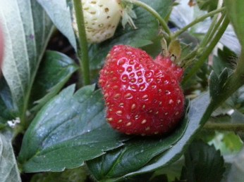 A strawberry tucked underneath some leaves.