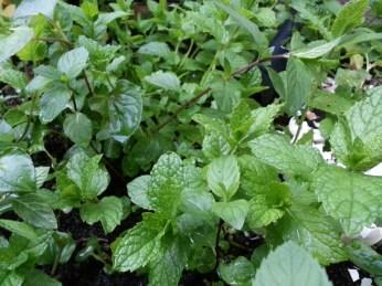 An abundance of herbs.