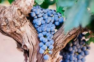 La uva Cabernet Sauvignon y sus principales características