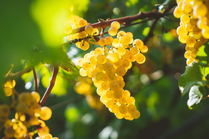 La uva Chardonnay y sus principales características