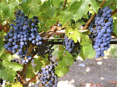 La uva Cabernet Franc y sus principales características