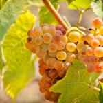 La uva Riesling, características, cata y maridaje