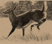 White-tailed Deer Bookmark