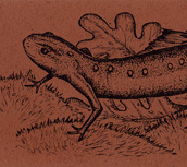 Eastern Newt Bookmark
