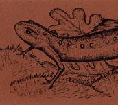 Eastern Newt Bookmark