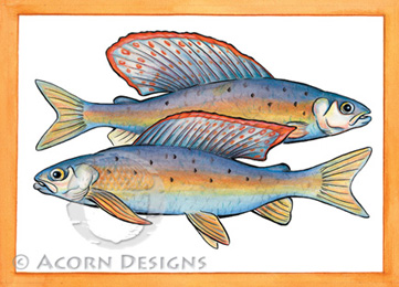 Arctic Grayling Notecard